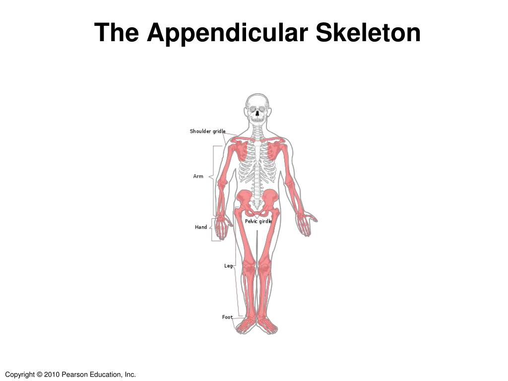 Which Appendicular Bones Have A Styloid Process Styloid