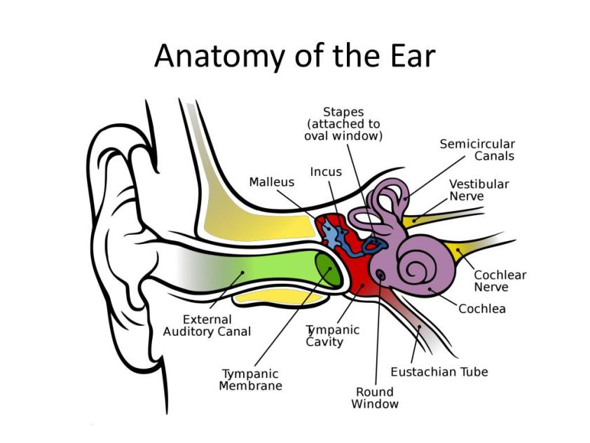 PPT - The Ear PowerPoint Presentation, free download - ID ...