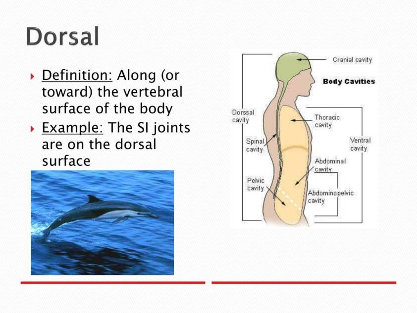 PPT - Anatomical Planes and Directions PowerPoint ...
