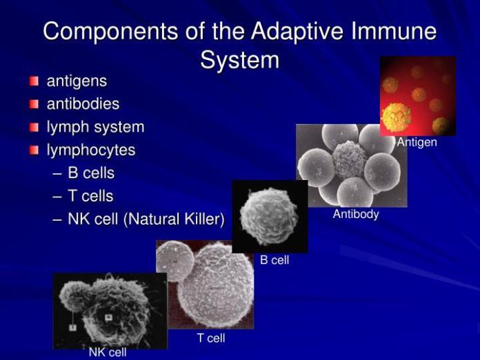 https://i2.wp.com/image1.slideserve.com/2399761/components-of-the-adaptive-immune-system-n.jpg?w=696