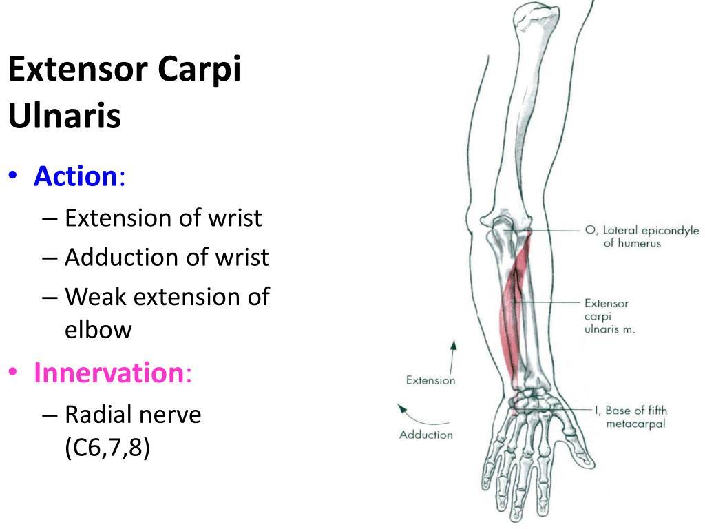 tags: #common flexor tendon muscles#arm flexor pain#flexor musculotendinous  injury tendons along#arm flexor muscles#flexor tendon anatomy#flexor tendon