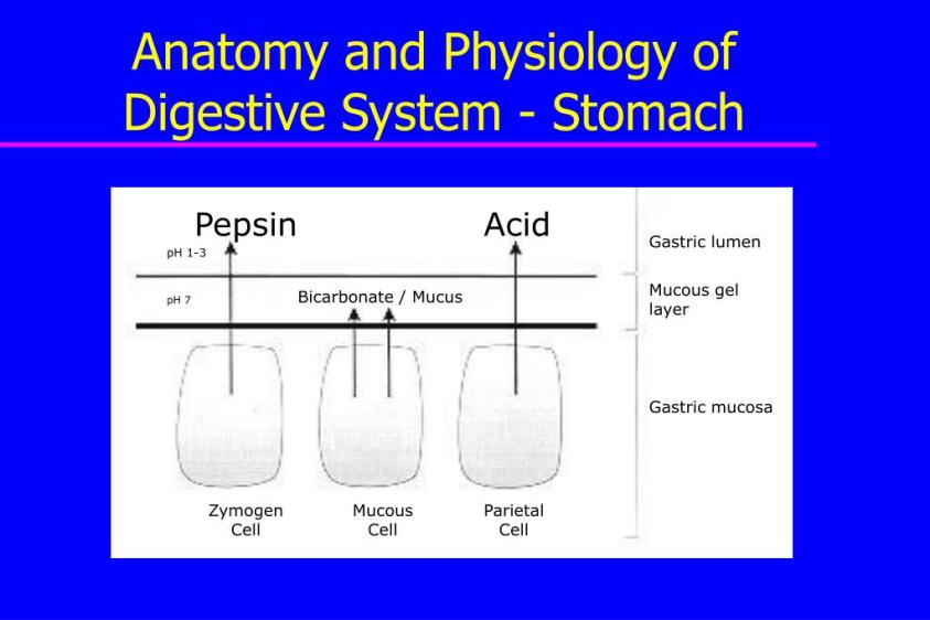 PPT - Anatomy and Physiology of the Gastrointestinal Tract ...