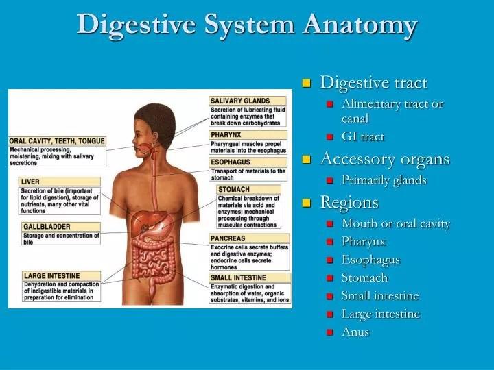 PPT - Digestive System Anatomy PowerPoint Presentation ...