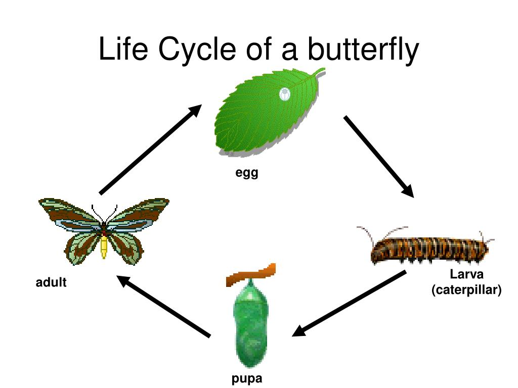 Life Cycle Of A Butterfly Ppt Ks1