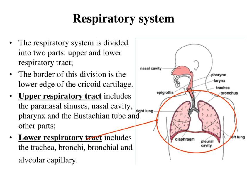 PPT - Anatomy & Physiology of the respiratory system in ...