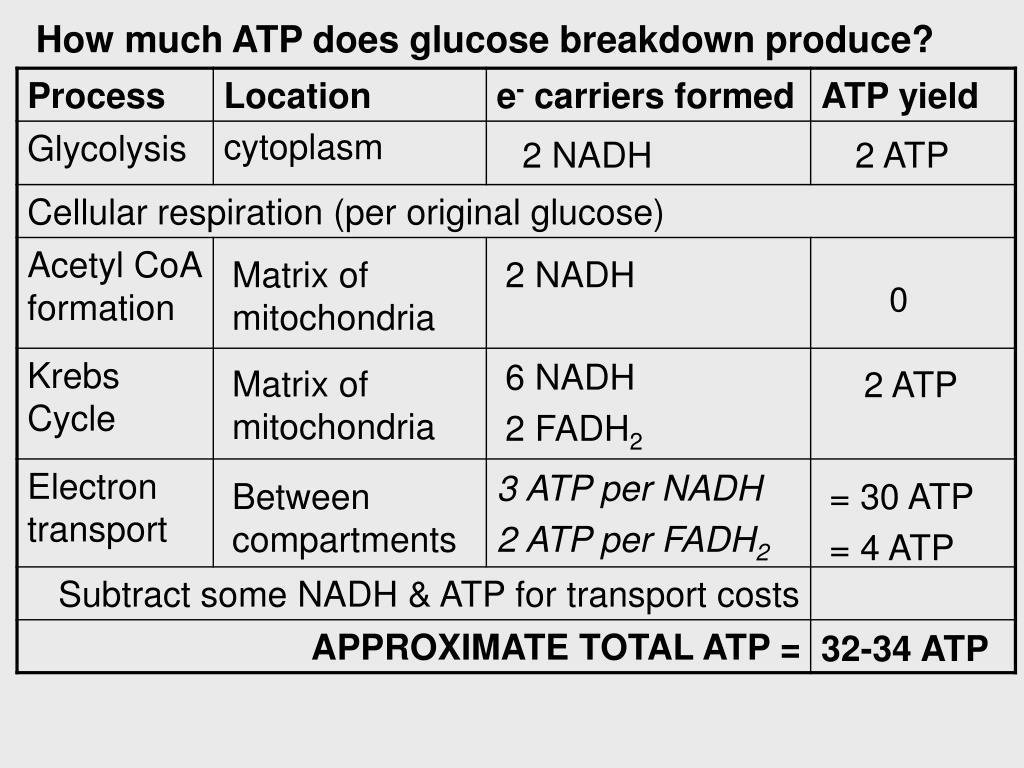 How Many Atp Produced By Krebs Cycle