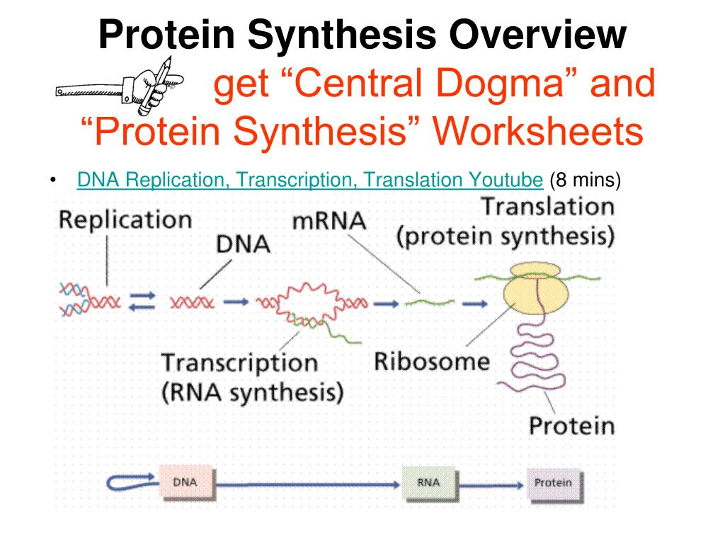 From Dna To Protein Worksheet