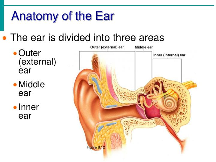 PPT - Chapter 8 Special Senses: Hearing & Equilibrium ...