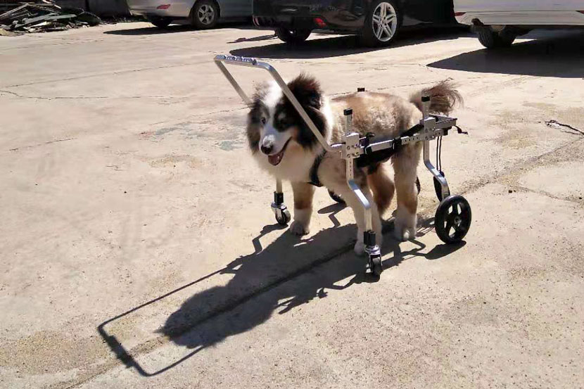 A dog walks outside with a wheelchair that Gao Xiaodong made in Beijing, Sept. 16, 2019. Courtesy of Gao Xiaodong