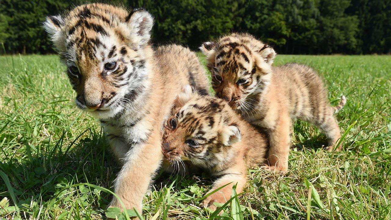 Três subespécies do tigre, de um total de nove, já estão completamente extintas / Felix Kästle/AFP