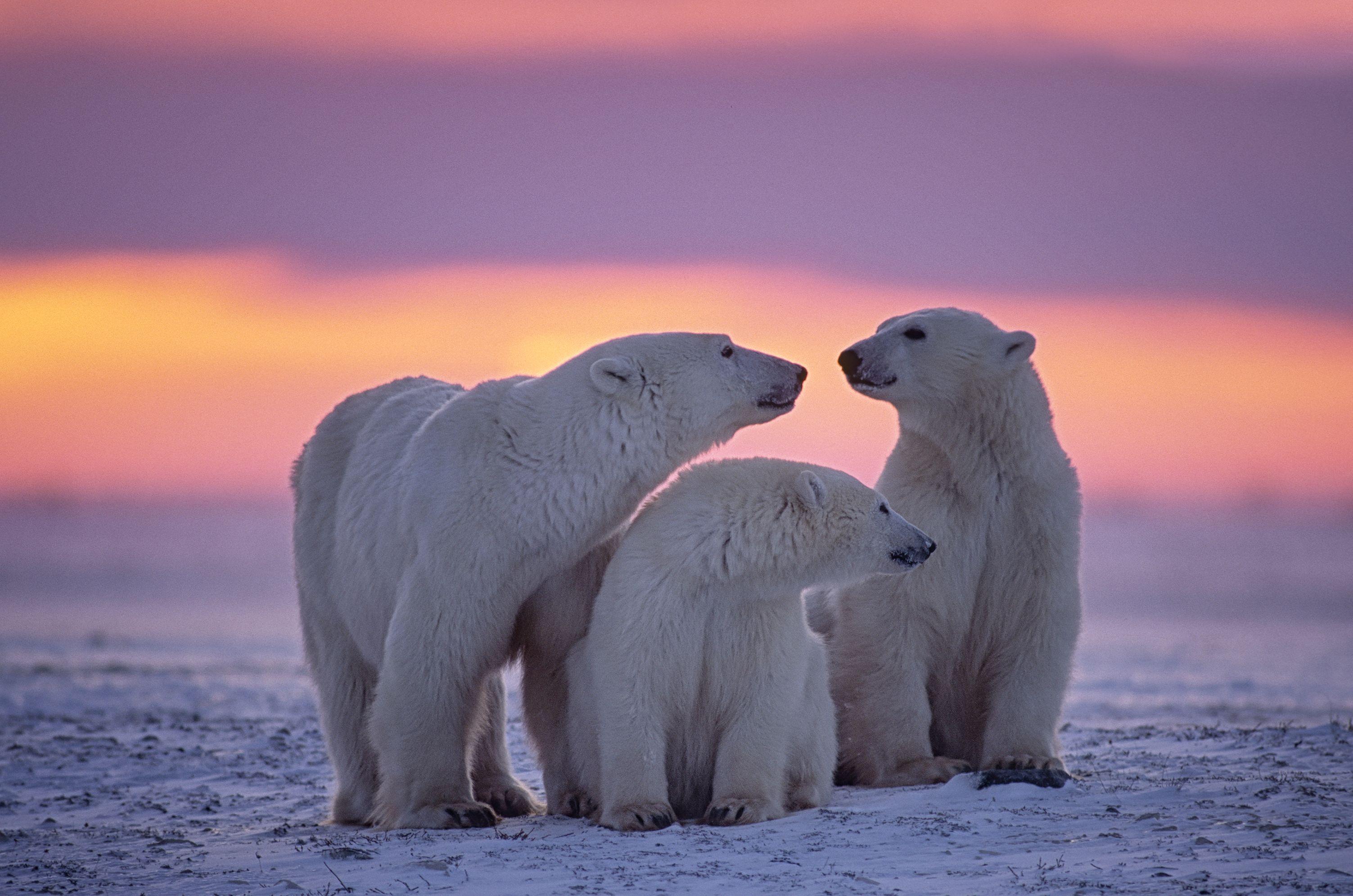 O urso-polar, também conhecido como urso-branco, é um mamífero típico e nativo da região do Ártico  /