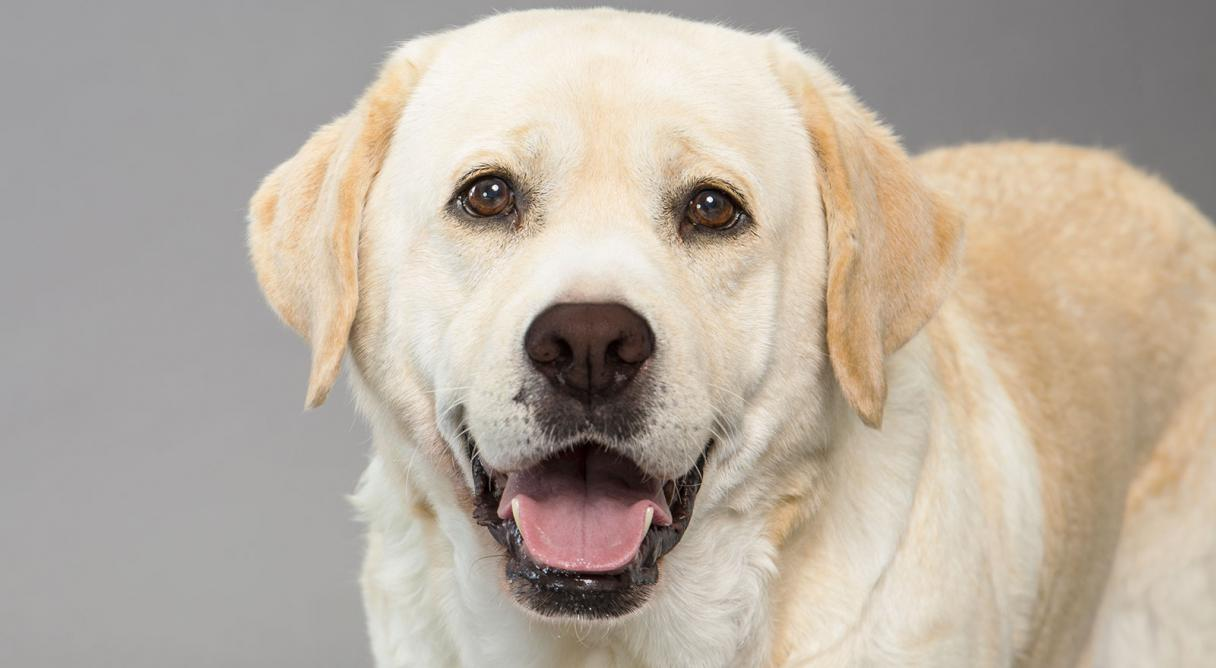 Imagenes de perros labradores para usar como fondo de for Fondos de pantalla de perritos