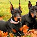 Imagenes Para Usar Como Fondos De Pantalla De Perros De Raza Doberman