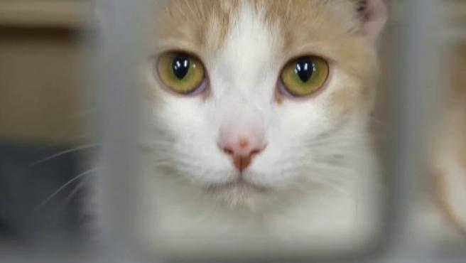 Unos desarrolladores de Calgary (Canadá) han lanzado una aplicación para conocer el estado de salud de los gatos con una simple foto. La app, que se llama 'Tably', capta rasgos del felino como la posición de la oreja, la tensión del hocico o el cambio de bigotes y así establece un diagnóstico de este. Los expertos de bienestar animal ya lo consideran una gran herramienta para ayudar a las mascotas.