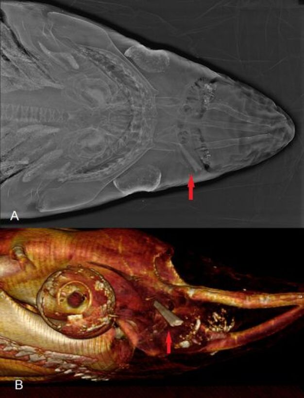 Above, X-ray of a specimen found in Vera (Almería).  Below, lateral view of the wound by computed tomography.  The red arrow points to the tip of the swordfish sword.