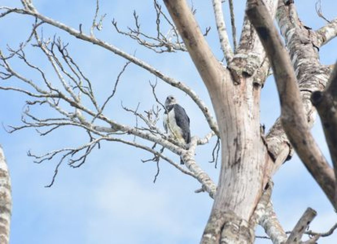 Harpy Eagle perched in a tree in the rainforest of Mato Grosso in the Brazilian Amazon.