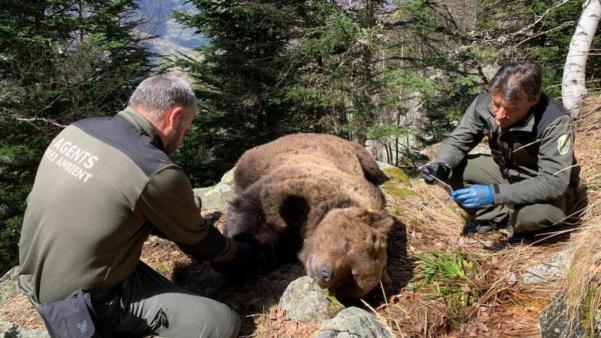 El caso de la muerte del oso Cachou, bajo secreto de sumario