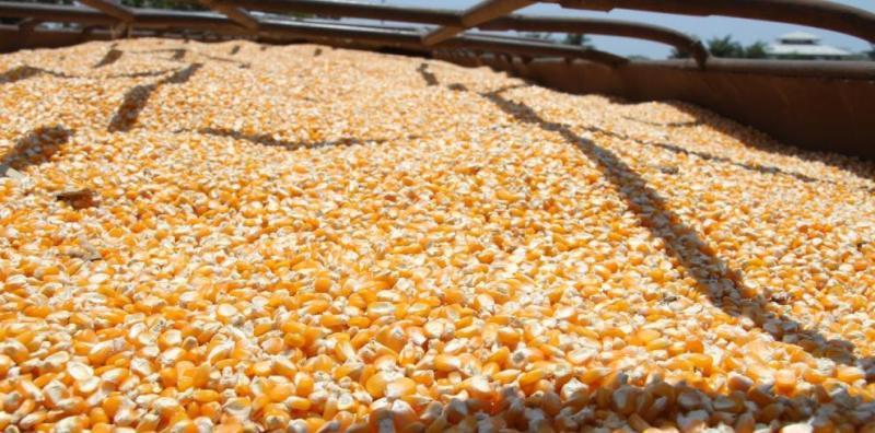 maiz nacional