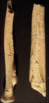 El radio y el fémur de 'Homo ergaster' hallados en Olduvai.