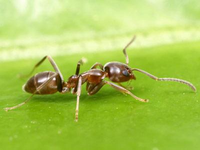 Ejemplar de hormiga argentina.