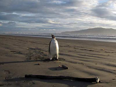 Pingüino en medio del deshielo en Nueva Zelanda. EFE
