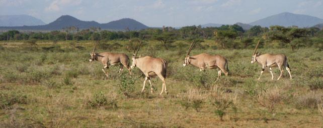 Un grupo de oryx en la reserva de Samburu (Kenia). T. C