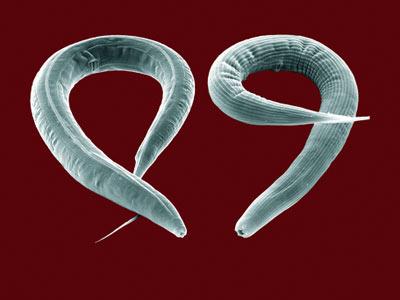 Los efectos se han estudiado en gusanos 'Caenorhabditis elegans'.