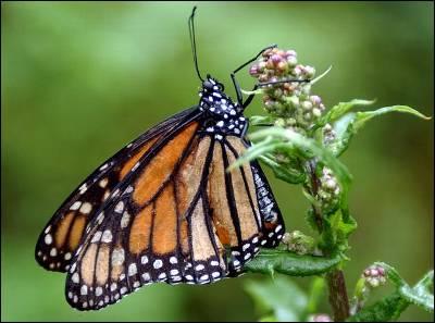 Un ejemplar de mariposa Monarca reposa sobre un arbusto en el santuario nacional 'El Rosario', ubicado en el estado mexicano de Michoacán.