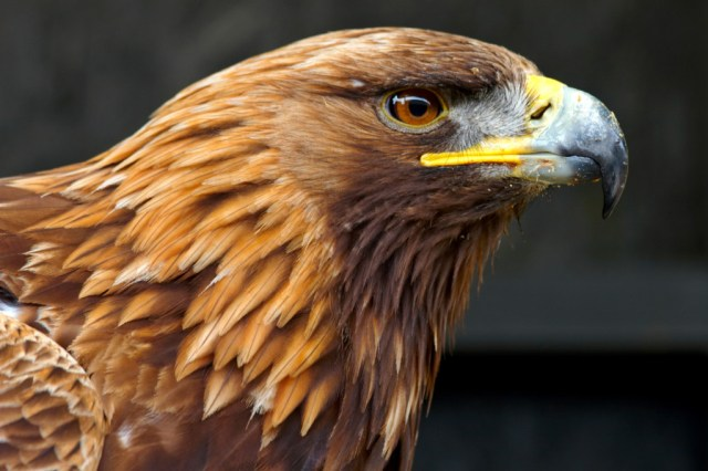 Aguila Real Imagenes
