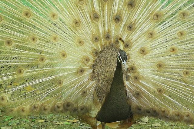 Fotos de un pavo real