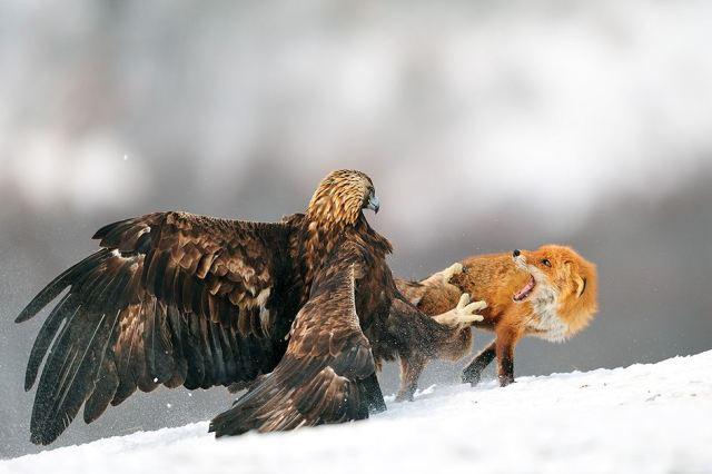 Imagen de un aguila real atacando un zorro