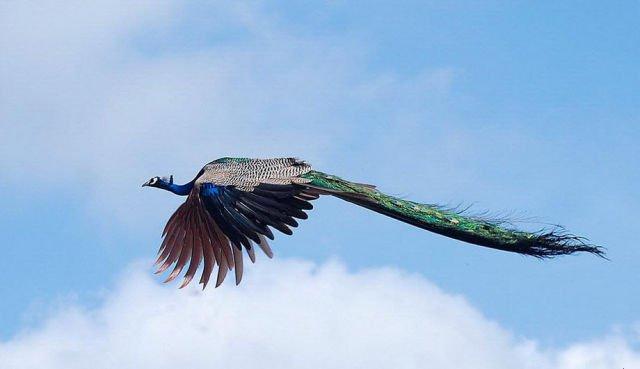 Imagen de un pavo real en pleno vuelo