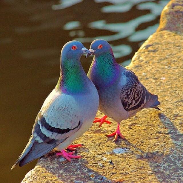 Lindas palomas besandose muy enamorados
