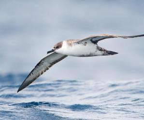Imagenes De Aves Marinas Pardelas – Shearwater
