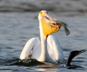 Imagenes De Pelícanos Aves