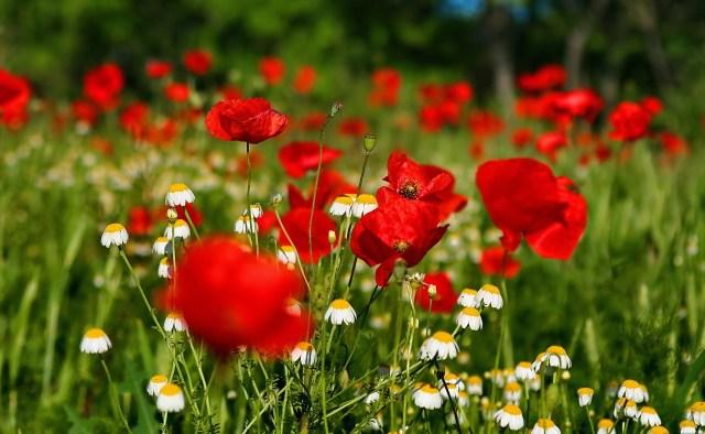 Campo de flores rojas wallpaper