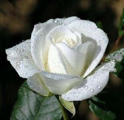 Imagen Linda rosa blanca con rocio