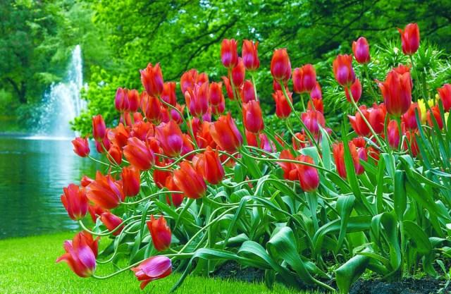 Fondo de pantalla de tulipanes