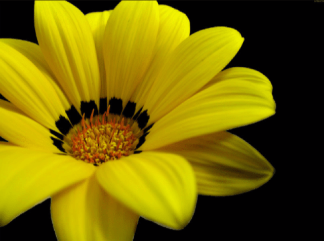 Foto de Hermosa flor amarilla para regalar