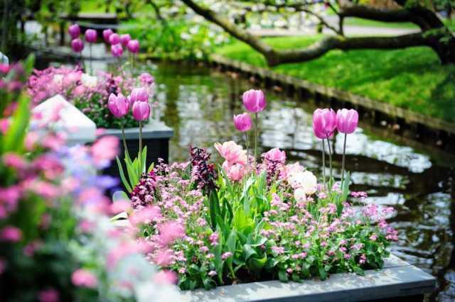 Fotos del jardin de tulipanes en Holanda para fondo de celular