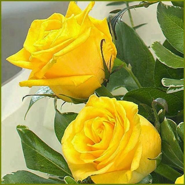 Imagenes De Rosas Amarillas Para El Dia De Las Madres