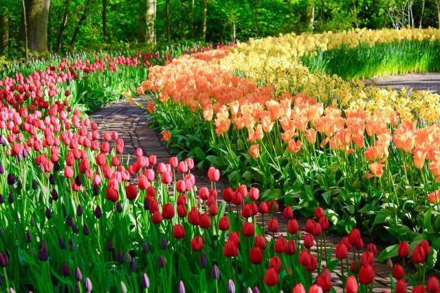 Imagenes de campos de tulipanes