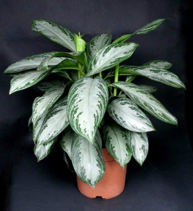 Imagenes de la planta Aglaonema