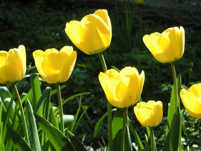 Imagenes de tulipanes amarillos