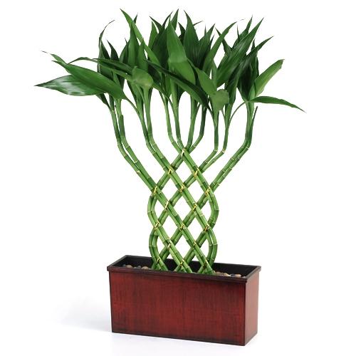 Imagenes del Bambu de la Suerte