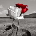 Imagenes De Flor Para Enviar Por Mensaje