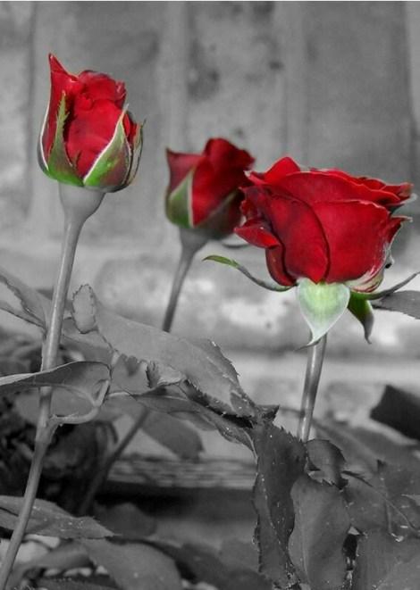 Linda imagen de rosas rojas con fondo gris para whatsapp