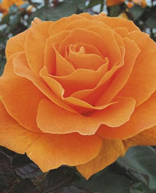 Imagenes de rosas para whatsapp