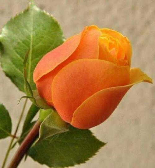 rosa naranja para enviar por mensaje de whatsapp