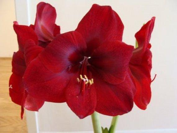 amarilis-imagenes-de-flores-navidenas